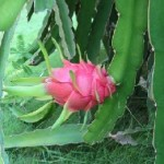 Пітахайя - вирощування з насіння.