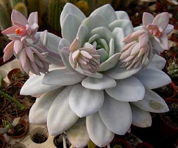 Ехеверія - агротехніка вирощування цього сукулента.