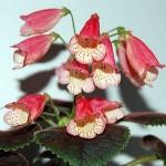 Квітка смітіанта, вирощування, догляд і її фото.