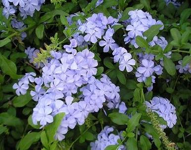 Плюмбаго - вирощування і догляд в домашніх умовах.
