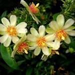 Пейреськія - фото рослини