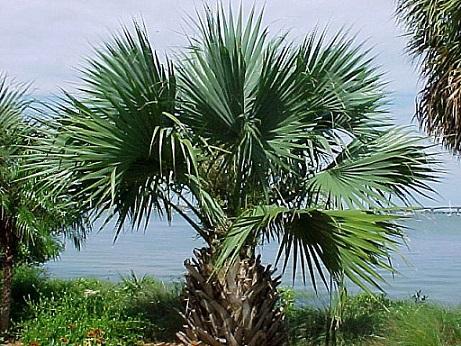 Пальма сабаль - фото у природі.