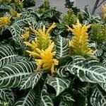 Афеландра - красива декоративна рослина.