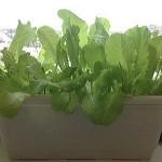 Вирощуємо салат на підвіконні або на балконі.