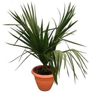 Пальма сабаль, що гарно прикрасить зимовий сад або офіс.