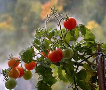 Вирощування томатів на підвіконні.