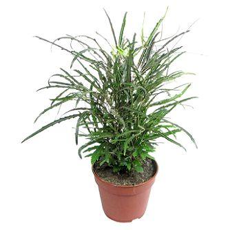 Дізіготека - види, догляд і проблеми при вирощуванні