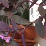 Сеткреазія пурпурова - пересадка, догляд і розмноження