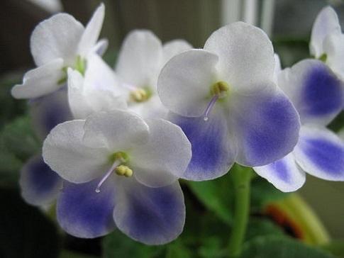 Фото узамбарської фіалки