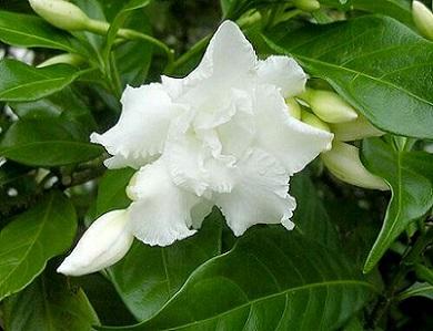 Табернемонтана - квітка, розмножити яку не складно у домашніх умовах