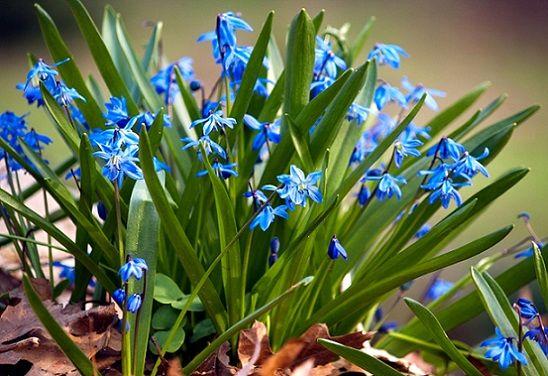 Квітка пролісок, умови вирощування, догляд.