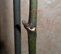 Догляд і обрізка орхідеї після цвітіння.