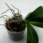 Догляд за орхідеями після цвітіння