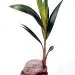 Фото кокосової пальми в домашніх умовах
