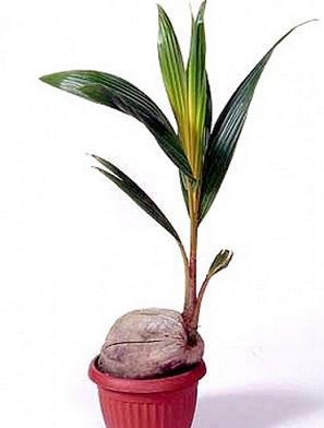 Кокосова пальма, догляд в домашніх умовах