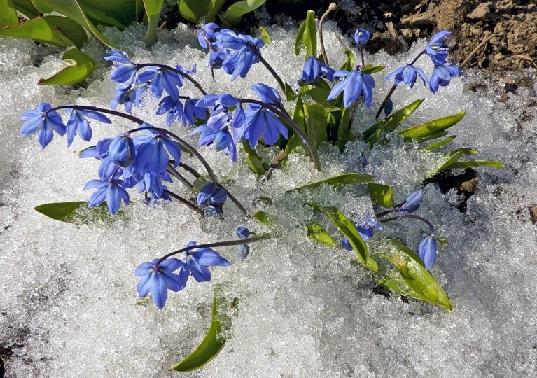 На фото первоцвіти проліски пробиваються крізь сніг