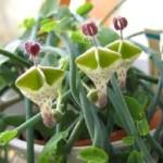 Церопегія - незвичайна, екзотична, сукулентна рослина