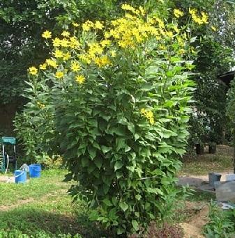 Топінамбур - розмноження, вирощування і корисні властивості