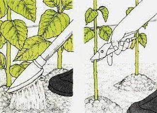 Бульбове розмноження і вирощування топінамбуру