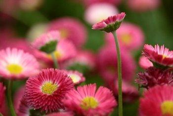 Багаторічні квіти для саду.