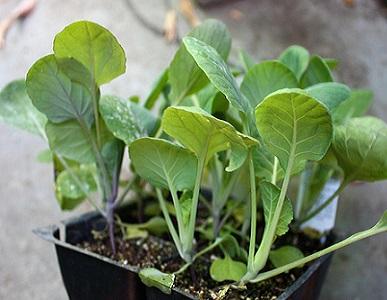 Технологія вирощування розсади ранньої капусти.