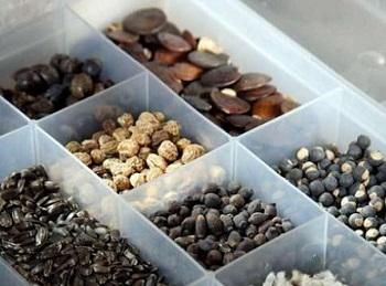 Стратифікація насіння, тепла і холодна.