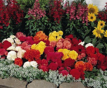 Які садові квіти називають