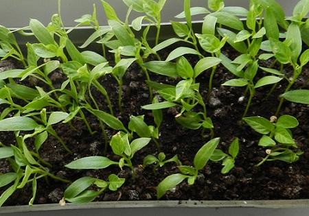 Чи можна у домашніх умовах виростити розсаду перцю?