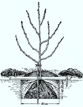 Посадка черешні в ямки на весні.