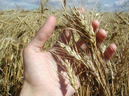 Збирання врожаю озимої пшениці