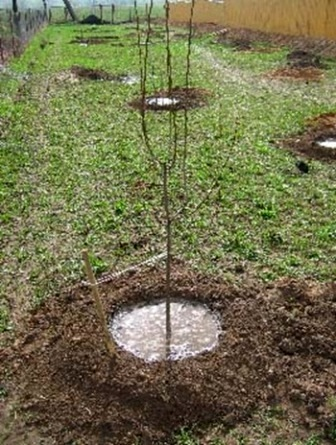 Садіння черешень весною із саджанців