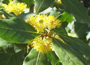 Цвіт лавра благородного на фото
