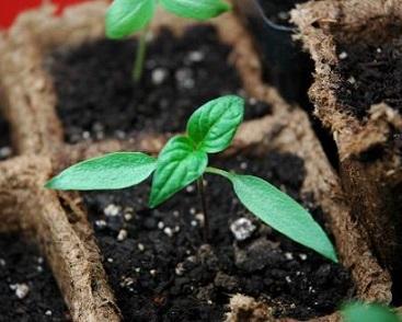 Розсада перцю вирощується в домашніх умовах.