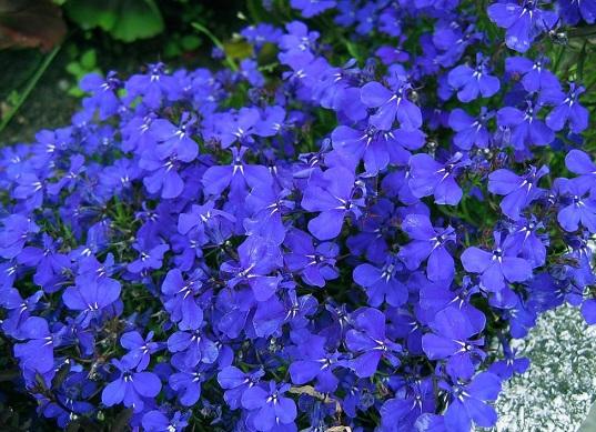 Лобелія - квіти, вирощування яких можливе із насіння.