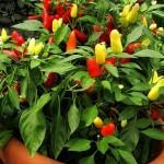 Декоративний перець, його вирощування і догляд.