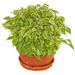 Формування крони у кімнатних рослин.