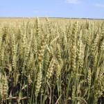 Вирощування озимої пшениці – технологія