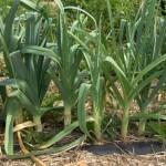 Цибуля порей - дворічна рослина, що є родичкою звичайної цибулі, вирощуємо на дачній ділянці