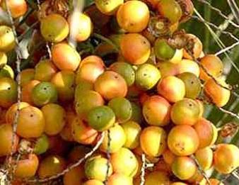 Плоди пальми бутії головчастої.