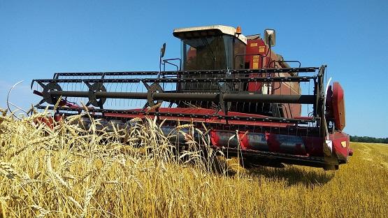 Прибирання жита починається в середині воскової стиглості зерна.