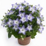 Дзвіночки - квіти: догляд у кімнаті та інші тонкощі агротехніки.