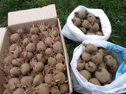 Чи потрібно пророщувати картоплю перед посадкою?