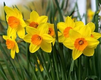 Нарцис жовтий або жонкілія, умови утримання і догляд