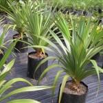 Пальма - панданус, догляд в домашніх умовах