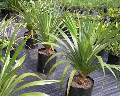 Панданус - невибаглива у догляді пальма, що добре підходить для вирощування квітникарям початківцям