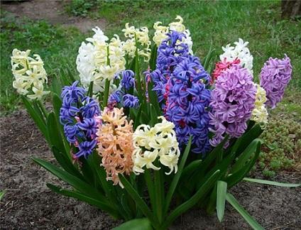 Гіацинти - догляд і вирощування.