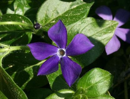 Квітка барвінок великий, як символ України