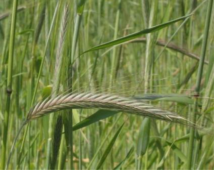 Жито, технологія його вирощування.