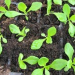 Вирощування розсади баклажанів із насіння