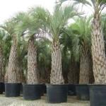 Пальма бутія головчаста - вирощування якої можливе з насіння